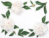 Рамка белых цветков и листьев пиона изолированных на белой предпосылке Плоское положение Стоковые Изображения