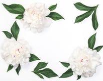 Рамка белых цветков и листьев пиона изолированных на белой предпосылке Плоское положение Стоковое Изображение