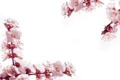 Рамка весны цветет на белой предпосылке Стоковые Фото