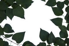 Рамка зеленых листьев сирени на белой предпосылке Стоковое Изображение RF