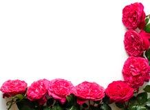 Рамка красивых роз Стоковые Изображения RF