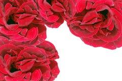 Рамка красных роз Стоковое фото RF