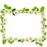 Рамка: маргаритки и листья зеленого цвета Стоковая Фотография RF