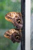 рамка пар бабочек Стоковое Изображение