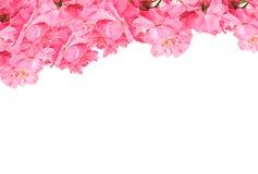 Рамка симпатичных розовых роз на белой предпосылке Зацветите доска для влюбленности, валентинка, мать, женщины Тема приветствию с Стоковые Фотографии RF