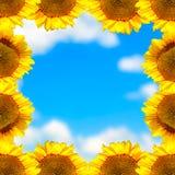 Рамка солнцецвета Стоковое фото RF