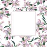 Рамка с белыми и розовыми lilys акварели иллюстрация штока