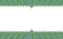 Рамка сделанная из зеленых изолированных листьев дерева манго на белом backg Стоковое Фото
