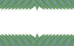 Рамка сделанная из зеленых изолированных листьев дерева манго на белом backg Стоковые Фото