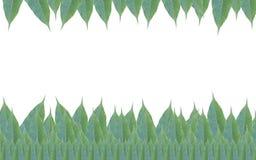 Рамка сделанная из зеленых изолированных листьев дерева манго на белом backg Стоковая Фотография RF