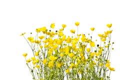 Рамка с желтыми лютиками на белой предпосылке Стоковое Фото