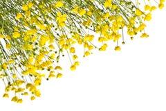 Рамка с желтыми лютиками на белой предпосылке Стоковая Фотография