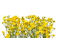 Рамка с желтыми senecios на белой предпосылке Стоковое Фото