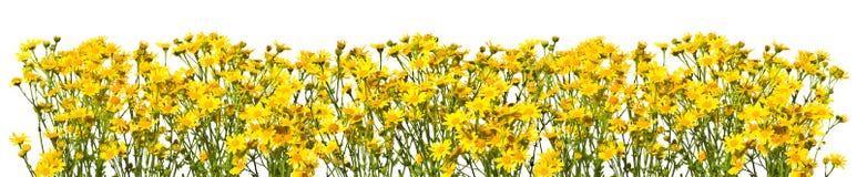 Рамка с желтыми senecios на белой предпосылке Стоковое Изображение