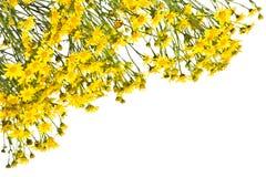 Рамка с желтыми senecios на белой предпосылке Стоковые Изображения