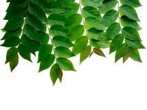 Рамка с пуком зеленых листьев крыжовника звезды изолированных на whi Стоковое Изображение