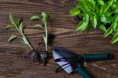 Рамка с садовыми инструментами и саженцами перца заводы перца chili в пластичном подносе на деревянной предпосылке Стоковое Изображение RF