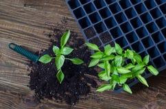 Рамка с садовыми инструментами и саженцами перца заводы перца chili в пластичном подносе на деревянной предпосылке Стоковые Фото