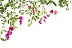 Рамка с цвести розовые всходы гороха на белой предпосылке Стоковые Изображения RF
