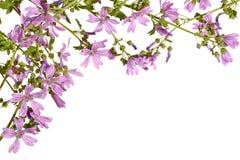 Рамка с цвести розовый просвирник на белой предпосылке Стоковая Фотография