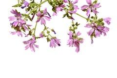 Рамка с цвести розовый просвирник на белой предпосылке Стоковое Изображение
