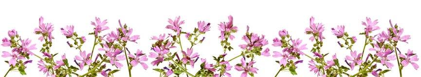Рамка с цвести розовый просвирник на белой предпосылке Стоковые Изображения