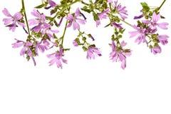 Рамка с цвести розовый просвирник на белой предпосылке Стоковые Фото