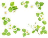 Рамка с цветками и листьями клубники Стоковое Изображение RF