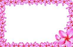 Рамка цветка flumeria на белой предпосылке Стоковое Изображение