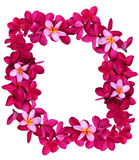 Рамка цветка Frangipani Стоковое Изображение
