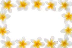Рамка Plumeria Стоковая Фотография
