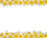 Рамка Plumeria Стоковая Фотография RF
