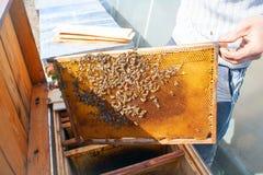 Рамки крапивницы пчелы Beekeeper жать мед Курильщик пчелы использован для того чтобы утихомирить пчел перед рамкой ульев Стоковые Фотографии RF
