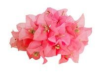 Рамки красных цветков Bouginvillea букета Стоковая Фотография RF