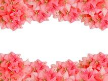 Рамки красных цветков Bouginvillea букета Стоковые Фотографии RF