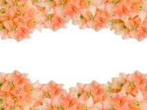 Рамки старых розовых цветков Bouginvillea букета Стоковое Изображение RF