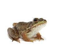 Рана зеленого цвета лягушки clamitans стоковое фото rf