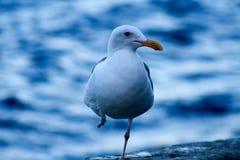 Раненая западная чайка на острове Каталины Стоковые Изображения RF