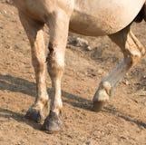 Раненая левая нога на дикой лошади жеребца Palomino в ряде дикой лошади гор Pryor в Монтане США Стоковые Изображения RF