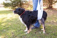Раненая собака в слинге Стоковые Изображения RF