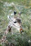 Раненный жираф пока wating дерево акации Стоковые Фото