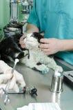раненный кот Стоковая Фотография RF