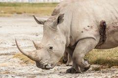 раненный носорог Стоковые Изображения RF