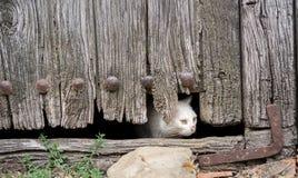 Раненый кот через старое деревянное отверстие двери Стоковая Фотография RF