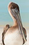 Раненый портрет пеликана Брайна Стоковые Изображения RF