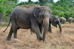 Раненый слон в одичалом Стоковое фото RF