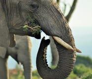Рано утром вахта слона Стоковая Фотография