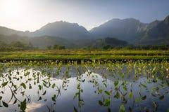 Рано утром взгляд таро fields в Hanalei, Кауаи, Гаваи стоковая фотография rf