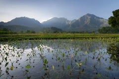 Рано утром взгляд таро fields в Hanalei, Кауаи, Гаваи Стоковое Фото