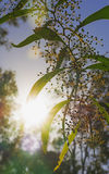Рано утром восход солнца silhouettes австралийский Wattle зигзага Стоковое Изображение RF